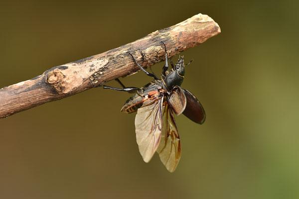 Hirschkäfer Weibchen landend