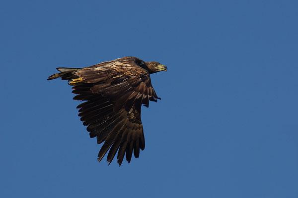 Seeadler Jungvogel im Flug