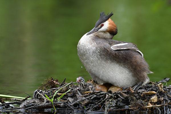 Haubentaucher am Nest