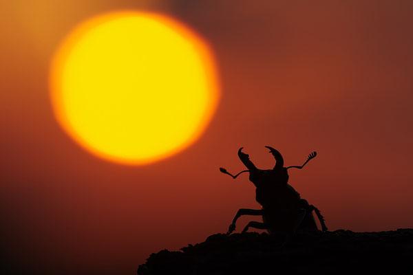 Hirschkäfer Männchen vor dem Sonnenuntergang