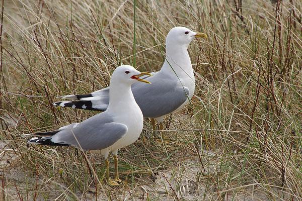 Sturmmöwe Paar