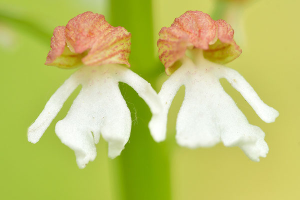 Purpurknabenkraut weiße Form