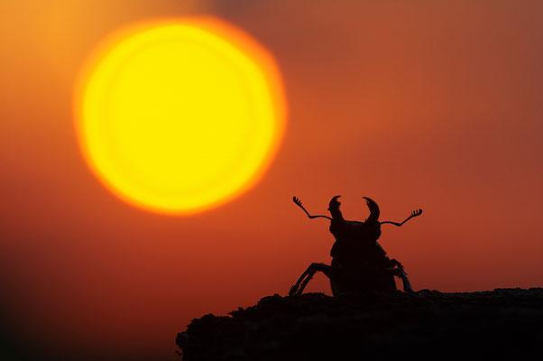 Hirschkäfer im Sonnenuntergang
