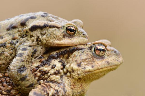 Erdkröte Paar Kopfportrait