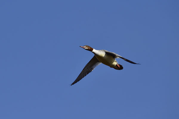 Gänsesäger Weibchen fliegend