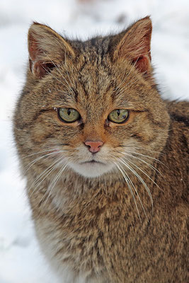 Wildkatze Kopfportrait