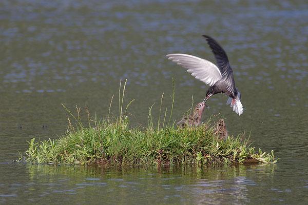 Trauerseeschwalbe am Nest mit Jungvögeln bei der Futterübergabe