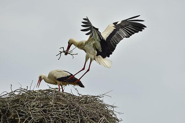Weißstörche am Nest