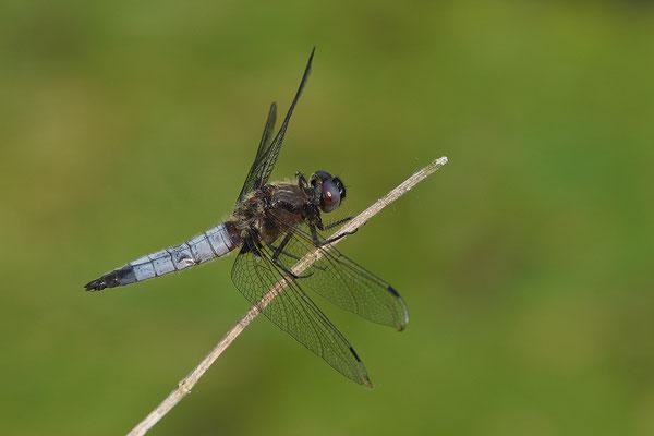 Spitzfleck Männchen