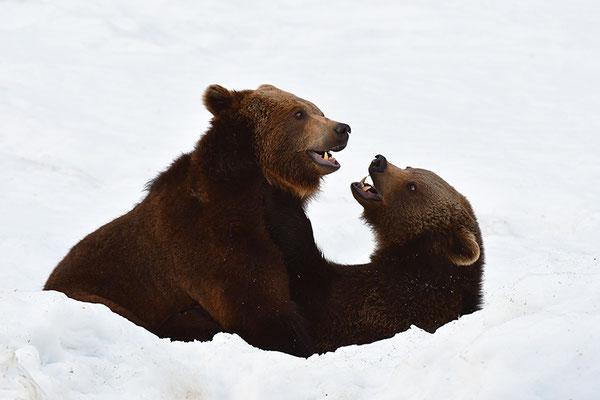 Braunbären kämpfend, Nationalpark Bayrischer Wald Tierfreigelände Neuschönau