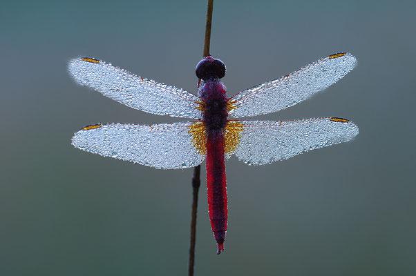 Feuerlibelle Männchen