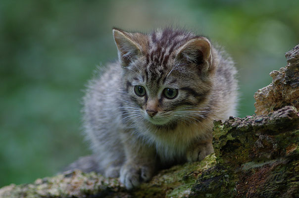 Wildkatze Jungtier