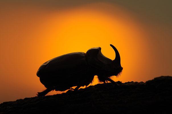 Nashornkäfer Männchen im Abendlicht