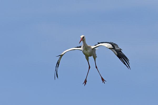 Weißstorch landend