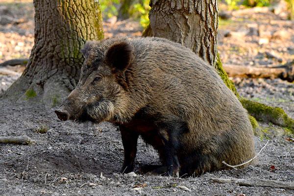 Wildschwein Eber