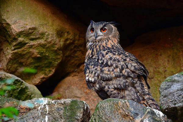Uhu, Nationalpark Bayrischer Wald Tierfreigelände Neuschönau