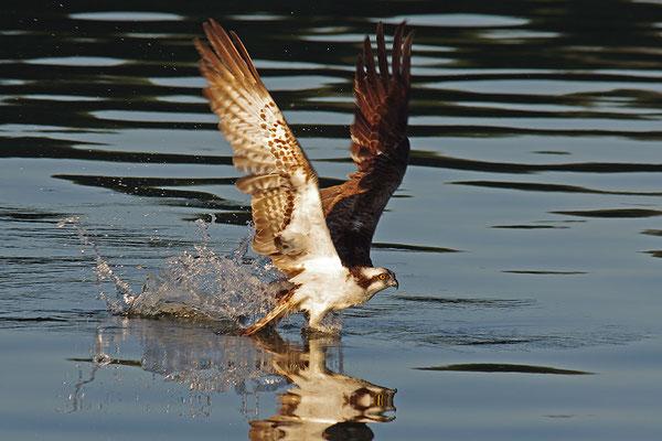 Fischadler beim Fang eines Fischs