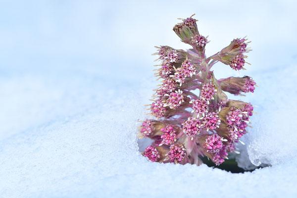 Rote Pestwurz im Schnee