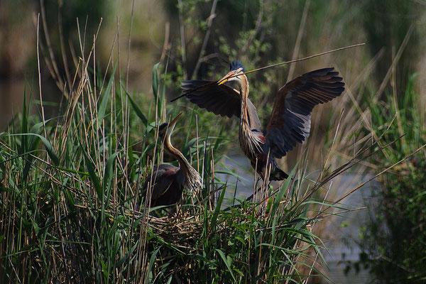 Purpurreiher am Nest