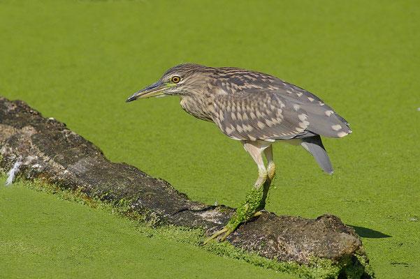 Nachtreiher Jungvogel
