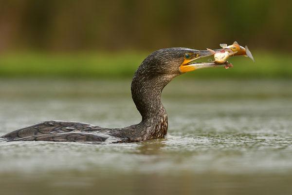 Kormoran mit Fisch
