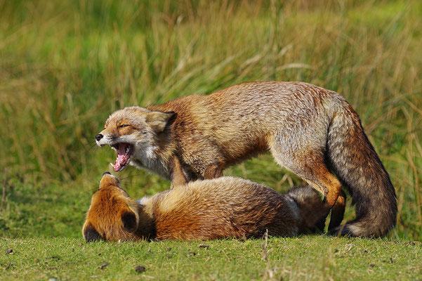 Füchse kampend