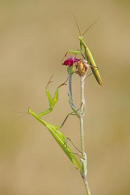 Gottesanbeterin Männchen und Weibchen
