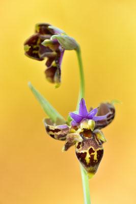Heldreichs Ragwurz Doppellippige Blüte