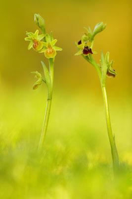 Gelbe Kleine Spinnenragwurz flavescens mit Normalform