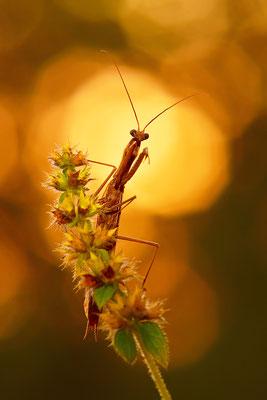 Gottesanbeterin Männchen im Abendlicht