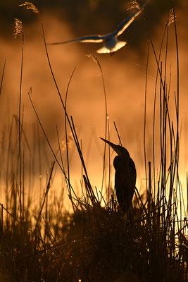 Purpurreiher im Morgenlicht
