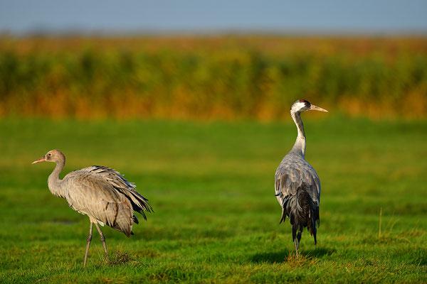 Kranich Altvogel mit Jungvogel
