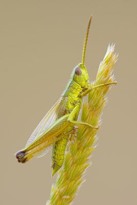 Goldschrecke Männchen
