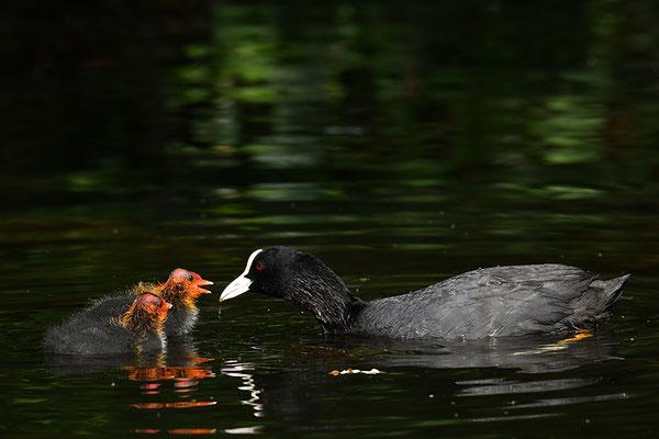 Blässralle Jungvögel bei der Fütterung