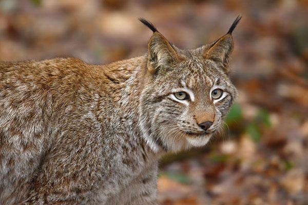 Luchs Kopfportrait Nationalpark Bayrischer Wald Tierfreigelände Neuschönau