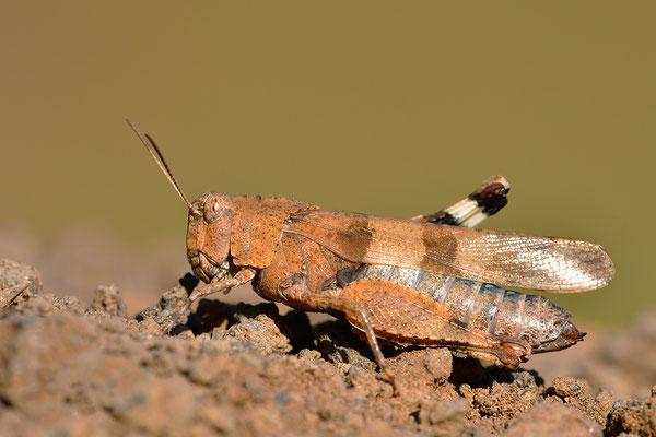 Blauflügel-Ödlandschrecke