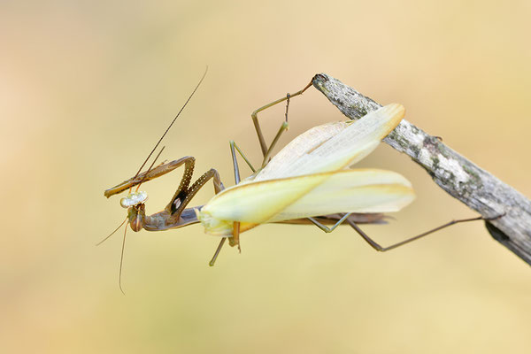 Gottesanbeterin Weibchen frisst Männchen