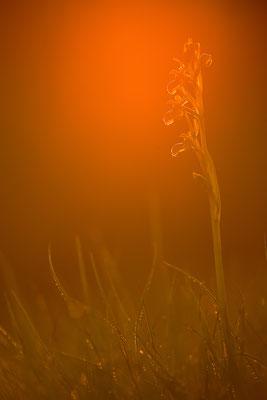 Kleine Spinnenragwurz im Abendlicht