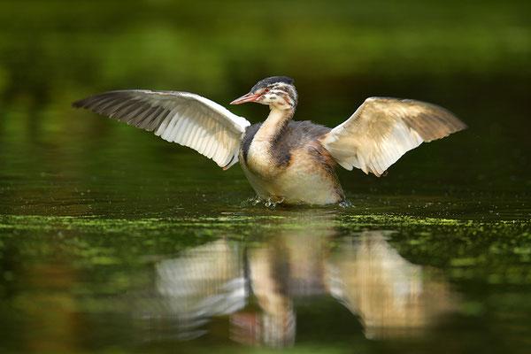 Haubentaucher Jungvogel