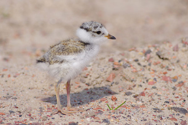 Sandregenpfeifer Jungvogel