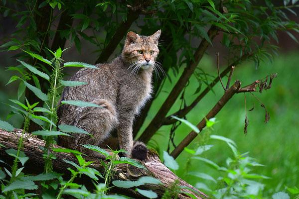 Wildkatze, Wildpark Anholter Schweiz
