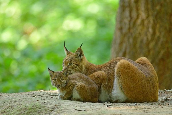 Luchs Mutter mit Jungtier