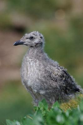 Silbermöwe Jungvogel