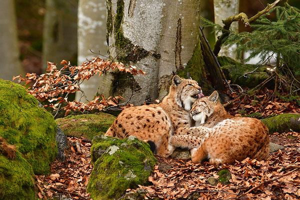 Luchse bei der Fellpflege Nationalpark Bayrischer Wald Tierfreigelände Neuschönau