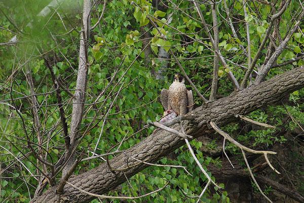 Wanderfalke am Nest mit erbeuteter Taube