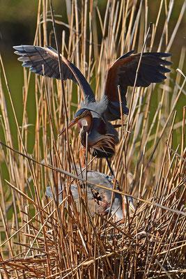 Purpurreiher am Nest Paarung