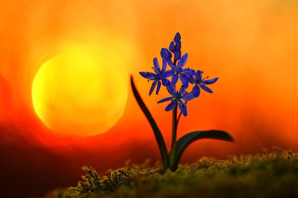 Blaustern im Sonnenuntergang