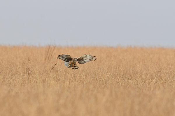 Kornweihe Weibchen