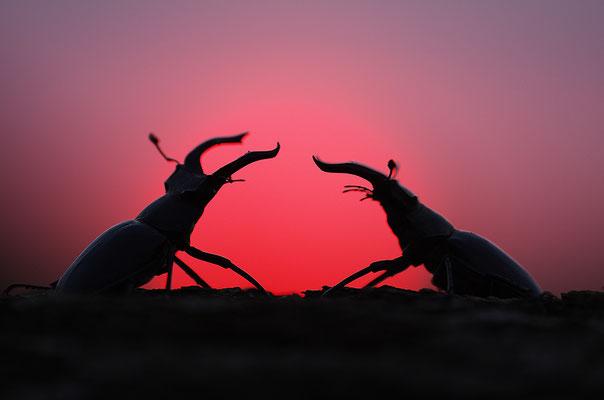 Hirschkäfer Männchen im Abendrot