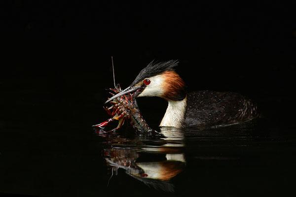 Haubentaucher mit erbeutetem Flusskrebs